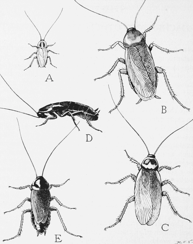 five species of common roaches