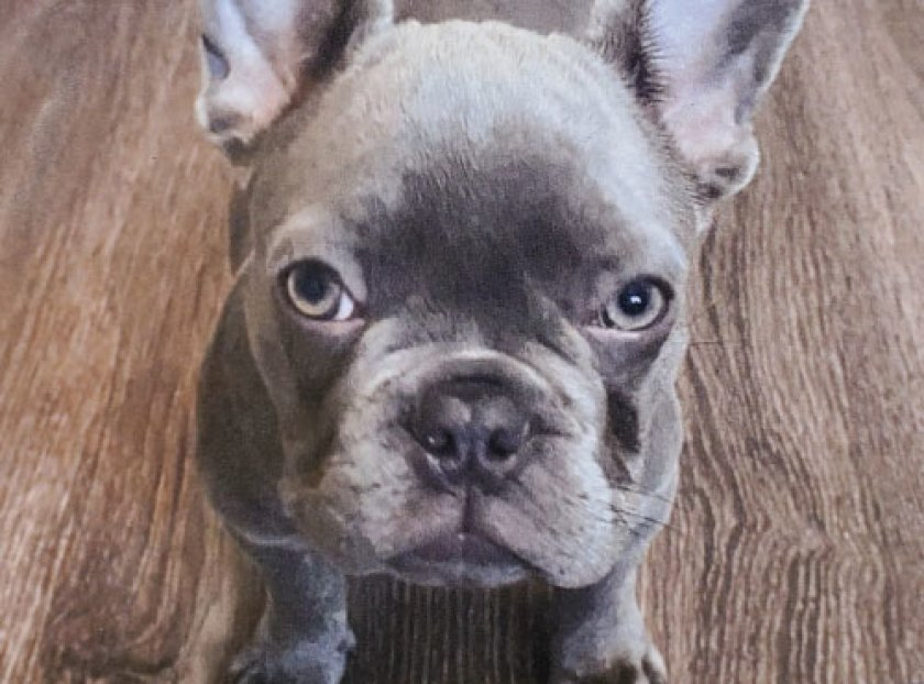 Seven, a 5-month-old French bulldog, was taken March 20 in North Hollywood.